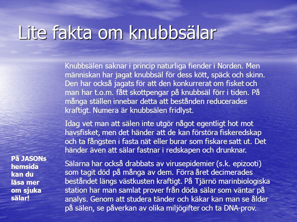 Lite fakta om knubbsälar Knubbsälen saknar i princip naturliga fiender i Norden. Men människan har jagat knubbsäl för dess kött, späck och skinn. Den