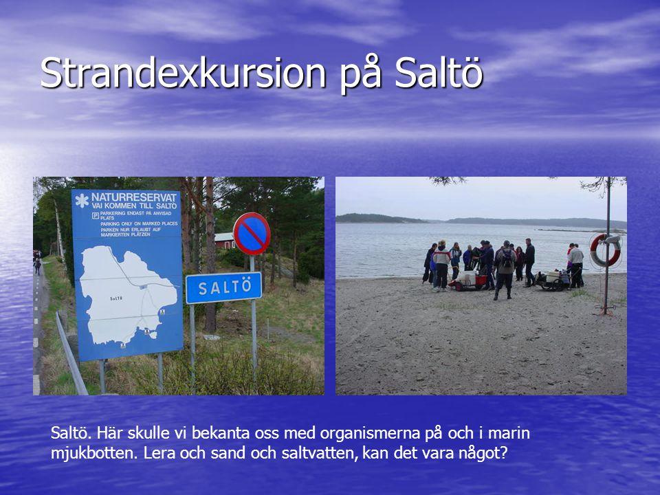 Strandexkursion på Saltö Saltö. Här skulle vi bekanta oss med organismerna på och i marin mjukbotten. Lera och sand och saltvatten, kan det vara något