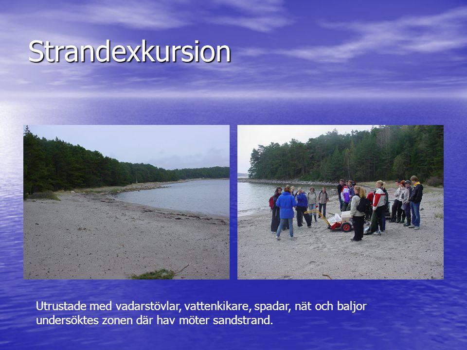 Strandexkursion Utrustade med vadarstövlar, vattenkikare, spadar, nät och baljor undersöktes zonen där hav möter sandstrand.