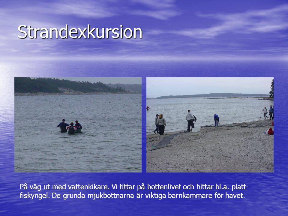 Strandexkursion På väg ut med vattenkikare. Vi tittar på bottenlivet och hittar bl.a. platt- fiskyngel. De grunda mjukbottnarna är viktiga barnkammare