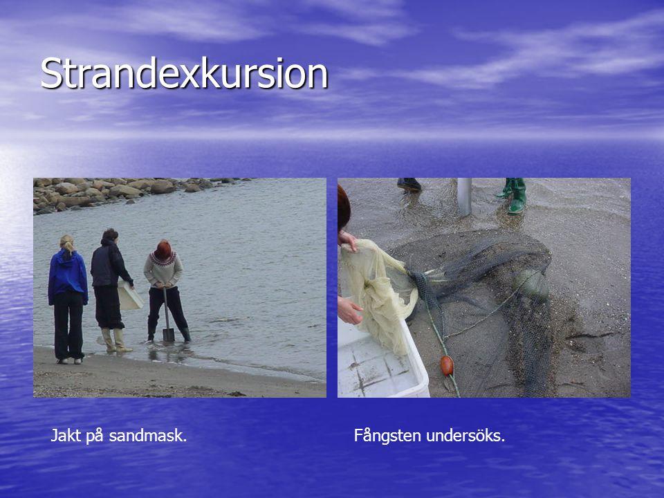 Strandexkursion Jakt på sandmask.Fångsten undersöks.