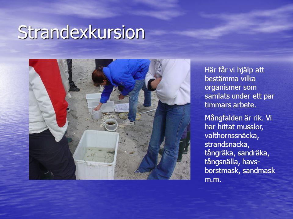 Strandexkursion Här får vi hjälp att bestämma vilka organismer som samlats under ett par timmars arbete. Mångfalden är rik. Vi har hittat musslor, val
