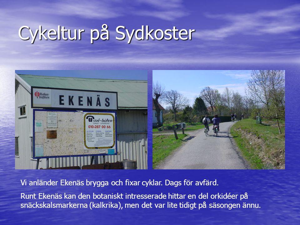 Cykeltur på Sydkoster Vi anländer Ekenäs brygga och fixar cyklar. Dags för avfärd. Runt Ekenäs kan den botaniskt intresserade hittar en del orkidéer p