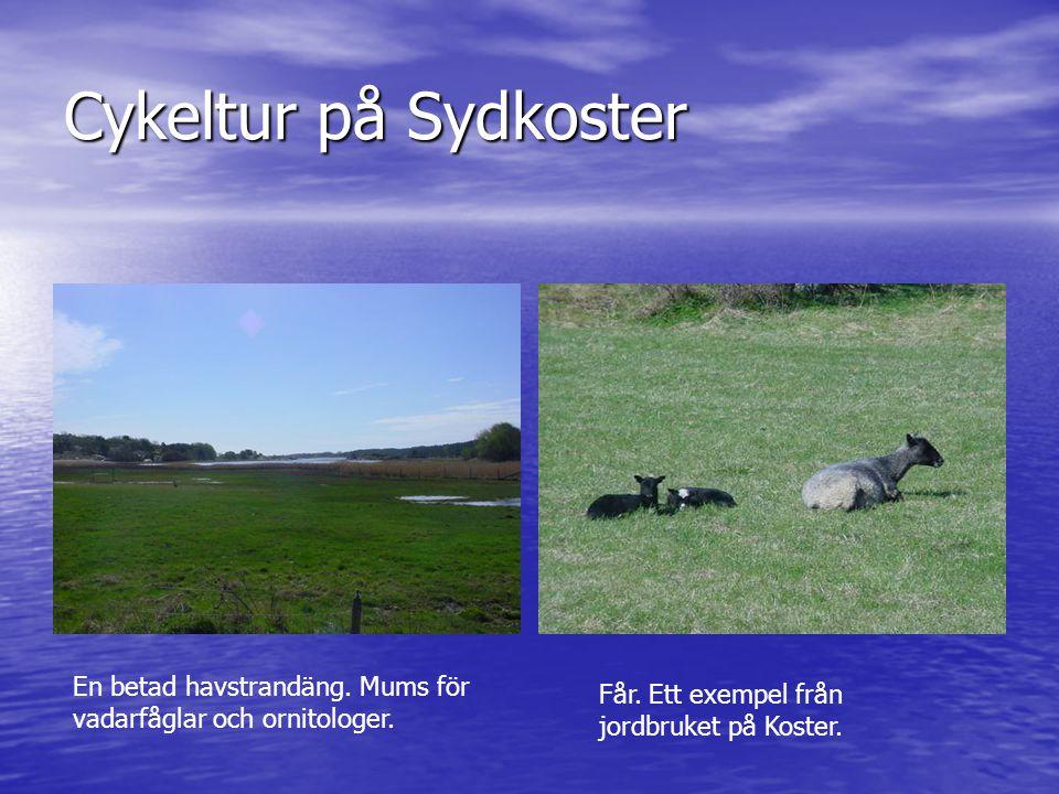 Cykeltur på Sydkoster En betad havstrandäng. Mums för vadarfåglar och ornitologer. Får. Ett exempel från jordbruket på Koster.