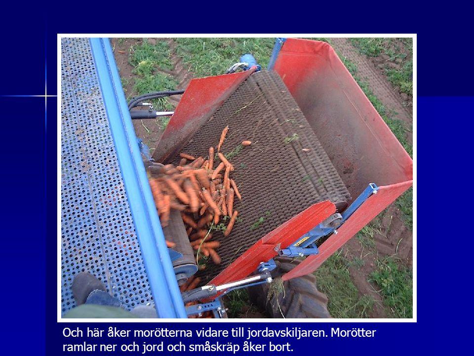 Och här åker morötterna vidare till jordavskiljaren. Morötter ramlar ner och jord och småskräp åker bort.