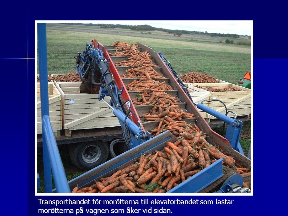 Transportbandet för morötterna till elevatorbandet som lastar morötterna på vagnen som åker vid sidan.