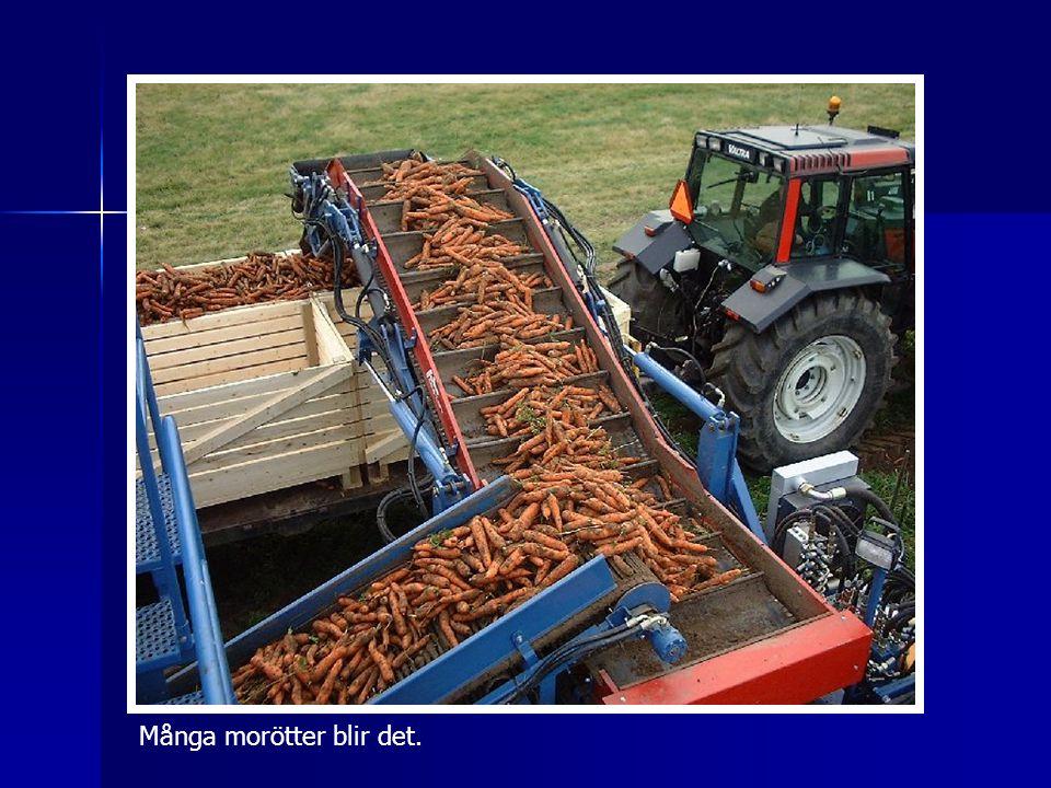 Många morötter blir det.