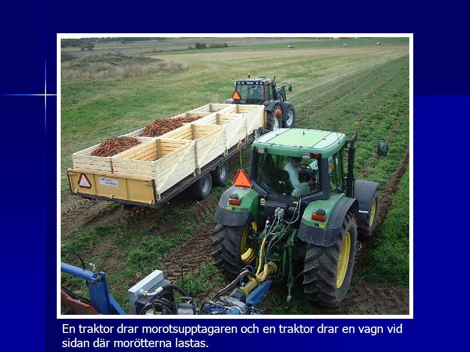 En traktor drar morotsupptagaren och en traktor drar en vagn vid sidan där morötterna lastas.