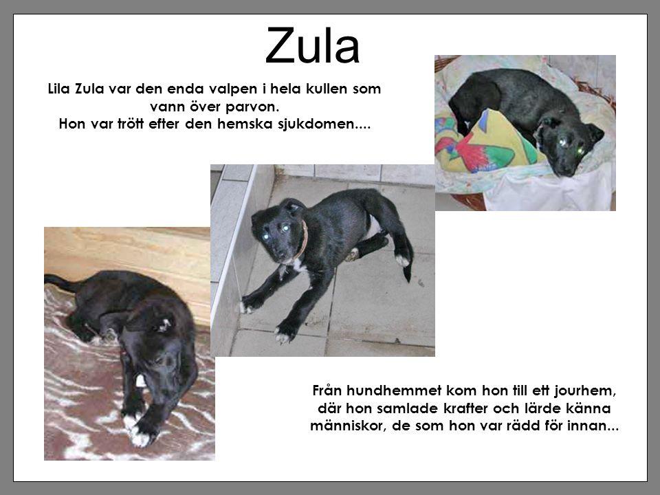 Zula Lila Zula var den enda valpen i hela kullen som vann över parvon. Hon var trött efter den hemska sjukdomen.... Från hundhemmet kom hon till ett j