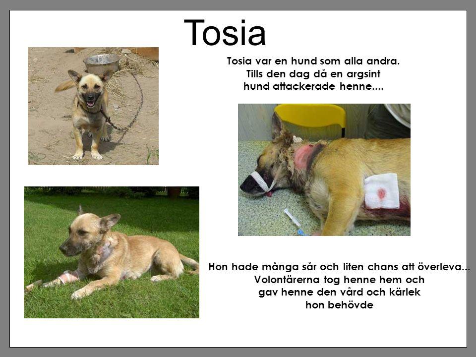 Tosia Tosia var en hund som alla andra. Tills den dag då en argsint hund attackerade henne.... Hon hade många sår och liten chans att överleva... Volo