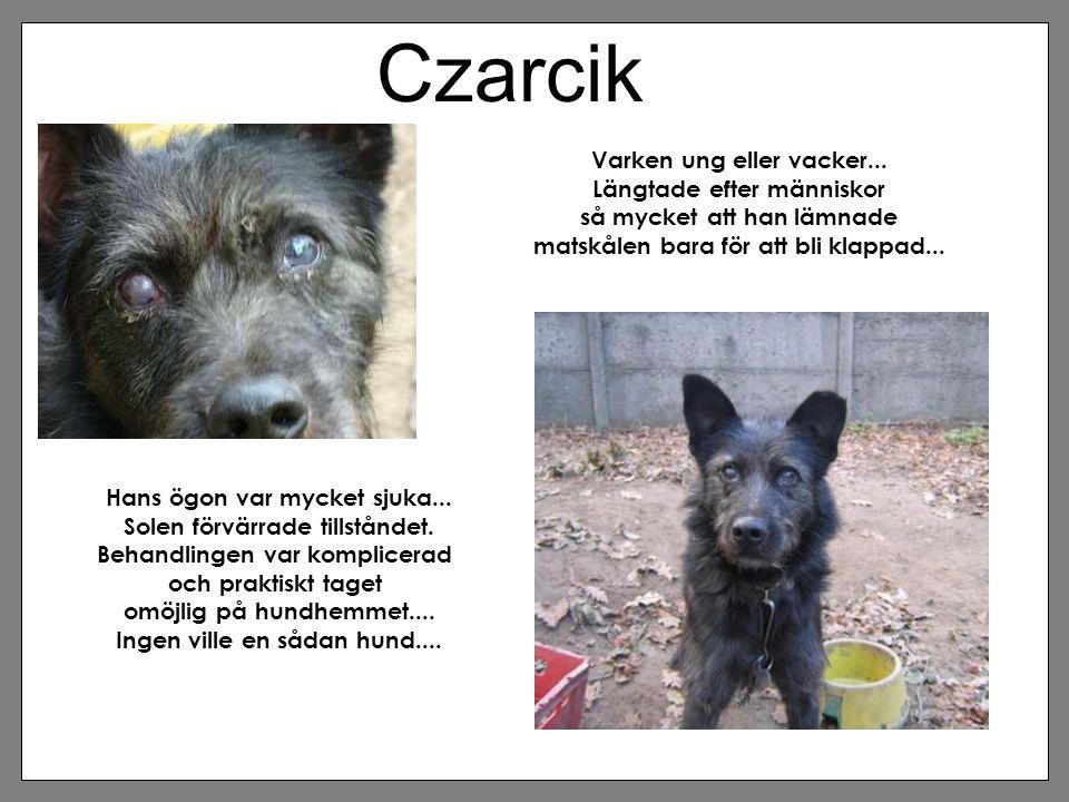 Czarcik Varken ung eller vacker... Längtade efter människor så mycket att han lämnade matskålen bara för att bli klappad... Hans ögon var mycket sjuka