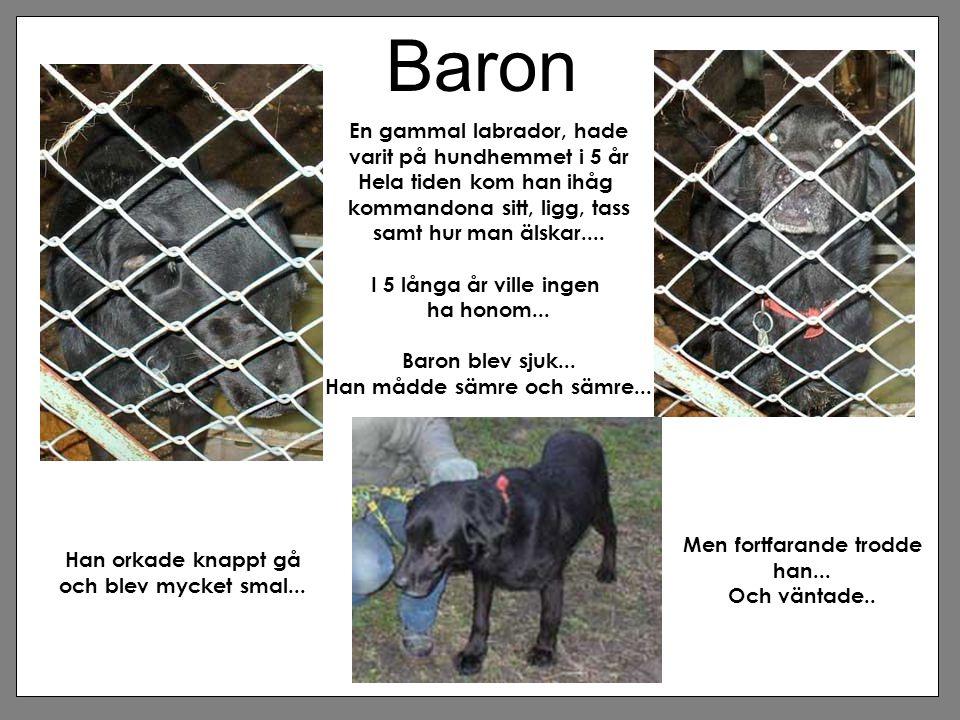 Baron En gammal labrador, hade varit på hundhemmet i 5 år Hela tiden kom han ihåg kommandona sitt, ligg, tass samt hur man älskar.... I 5 långa år vil