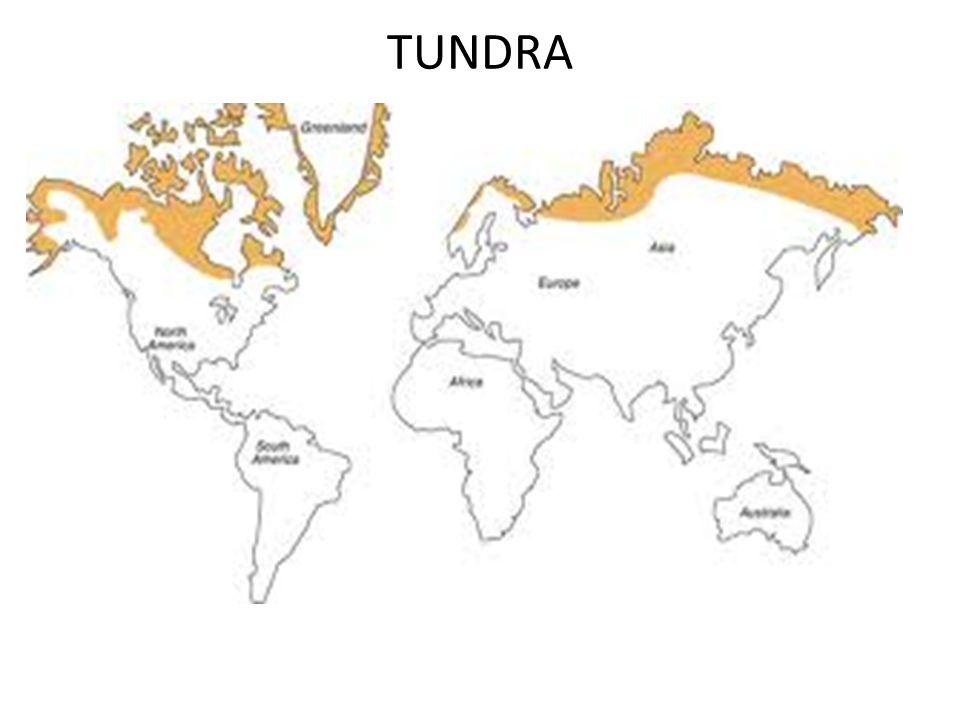 TUNDRA  Tundra kallas det skoglösa område med permafrost Stora växter som träd kan inte växa eftersom marken alltid är frusen (permafrost).  Här väx