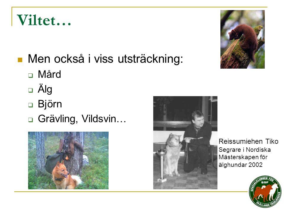 Viltet…  Men också i viss utsträckning:  Mård  Älg  Björn  Grävling, Vildsvin… Reissumiehen Tiko Segrare i Nordiska Mästerskapen för älghundar 20