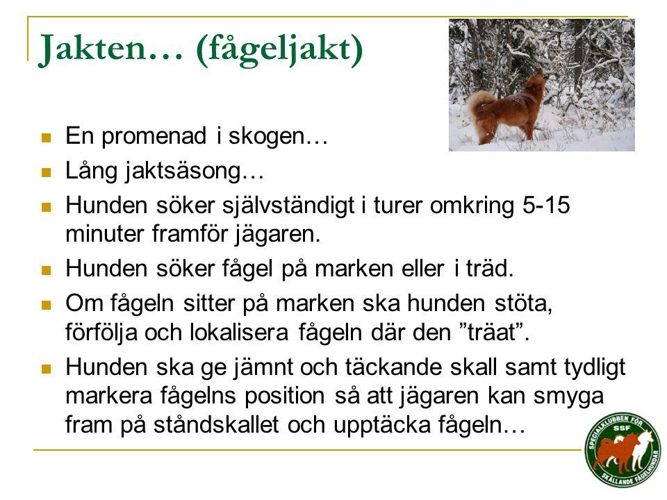Jakten… (fågeljakt)  En promenad i skogen…  Lång jaktsäsong…  Hunden söker självständigt i turer omkring 5-15 minuter framför jägaren.  Hunden sök