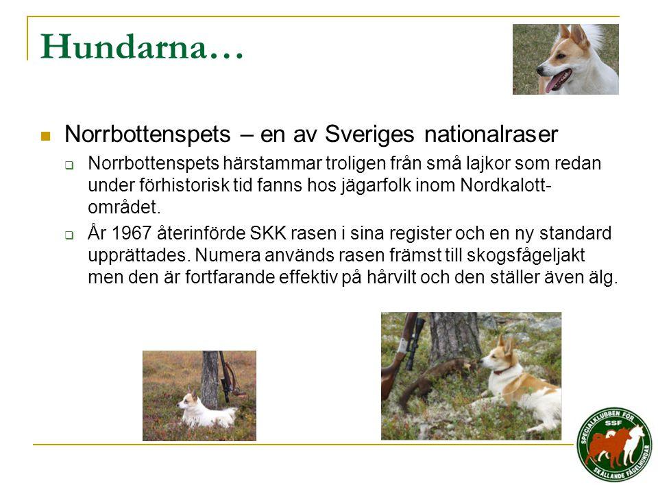 Hundarna…  Norrbottenspets – en av Sveriges nationalraser  Norrbottenspets härstammar troligen från små lajkor som redan under förhistorisk tid fann