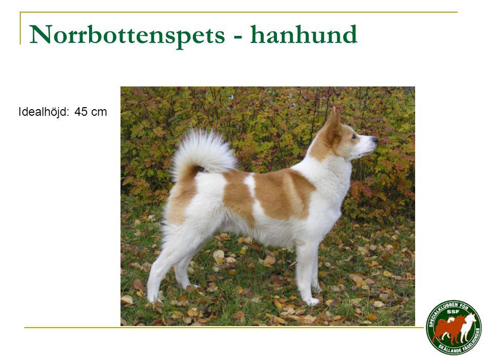 Norrbottenspets - hanhund Idealhöjd: 45 cm