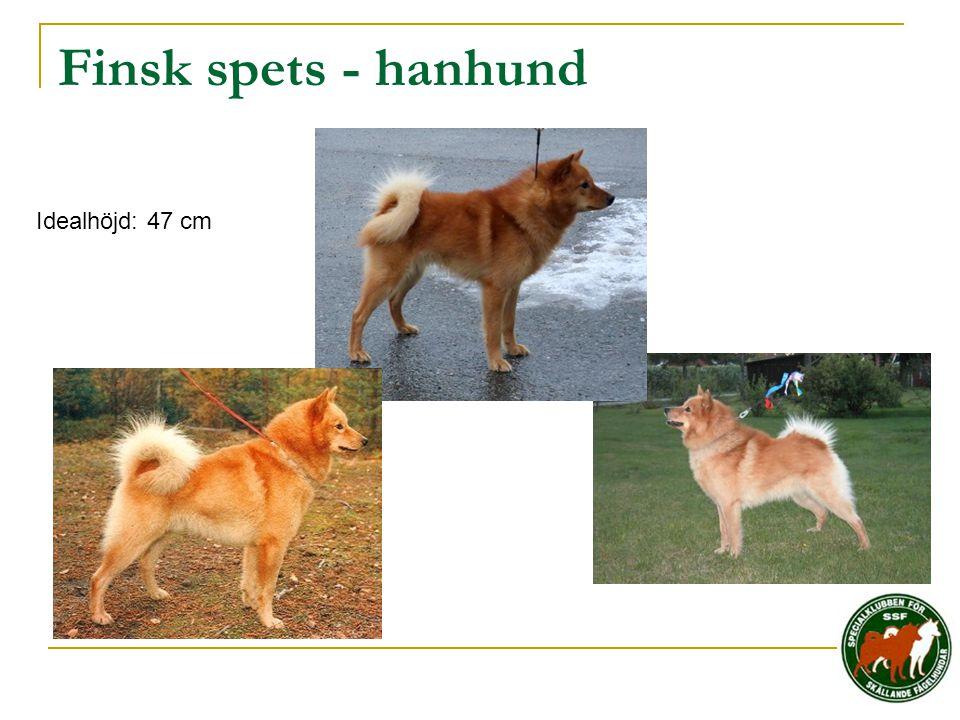 Finsk spets - hanhund Idealhöjd: 47 cm