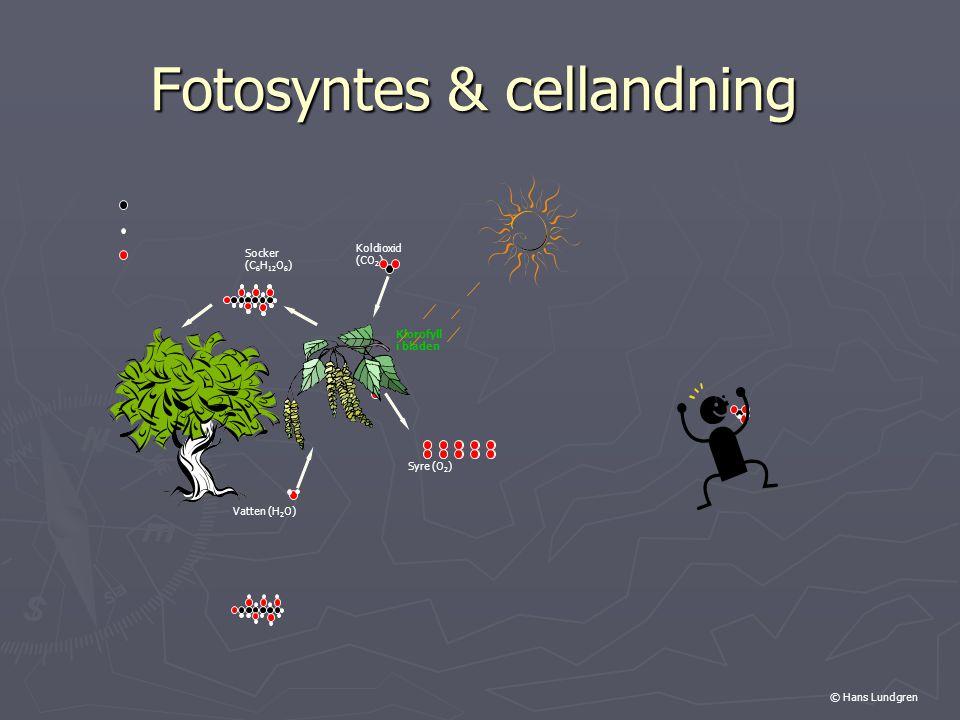 Fotosyntes & cellandning Koldioxid (CO 2 ) Vatten (H 2 O) Syre (O 2 ) Socker (C 6 H 12 O 6 ) Klorofyll i bladen © Hans Lundgren