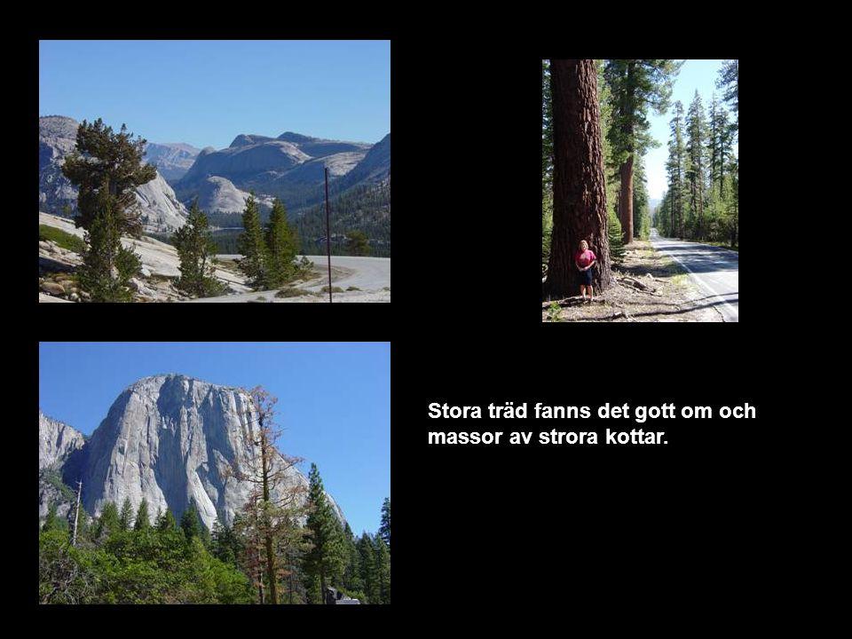 Stora träd fanns det gott om och massor av strora kottar.