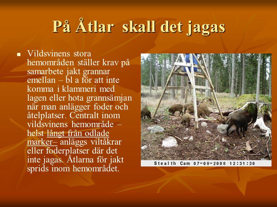 På Åtlar skall det jagas   Vildsvinens stora hemområden ställer krav på samarbete jakt grannar emellan – bl a för att inte komma i klammeri med lage