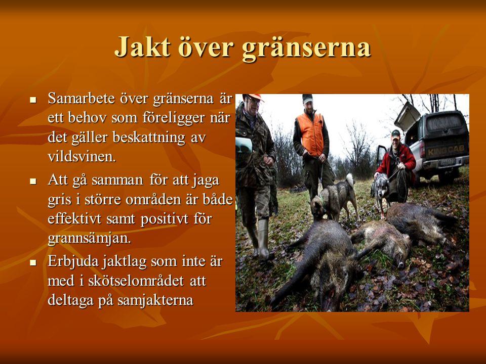 Jakt över gränserna  Samarbete över gränserna är ett behov som föreligger när det gäller beskattning av vildsvinen.  Att gå samman för att jaga gris