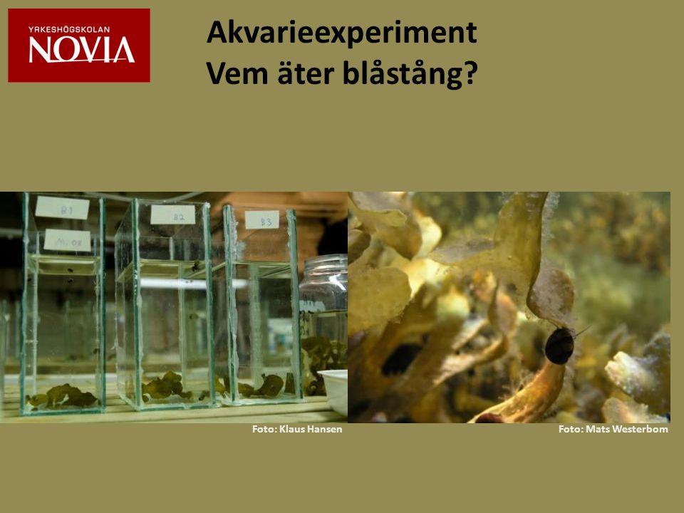 Akvarieexperiment Vem äter blåstång? Foto: Klaus HansenFoto: Mats Westerbom