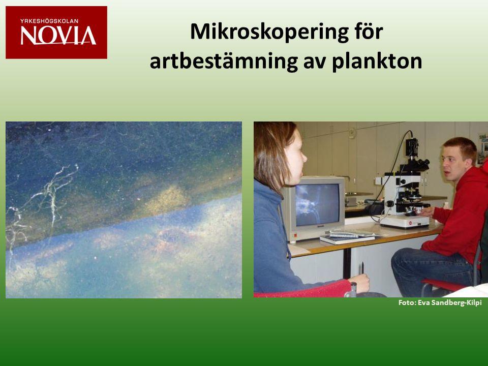 Mikroskopering för artbestämning av plankton Foto: Eva Sandberg-Kilpi