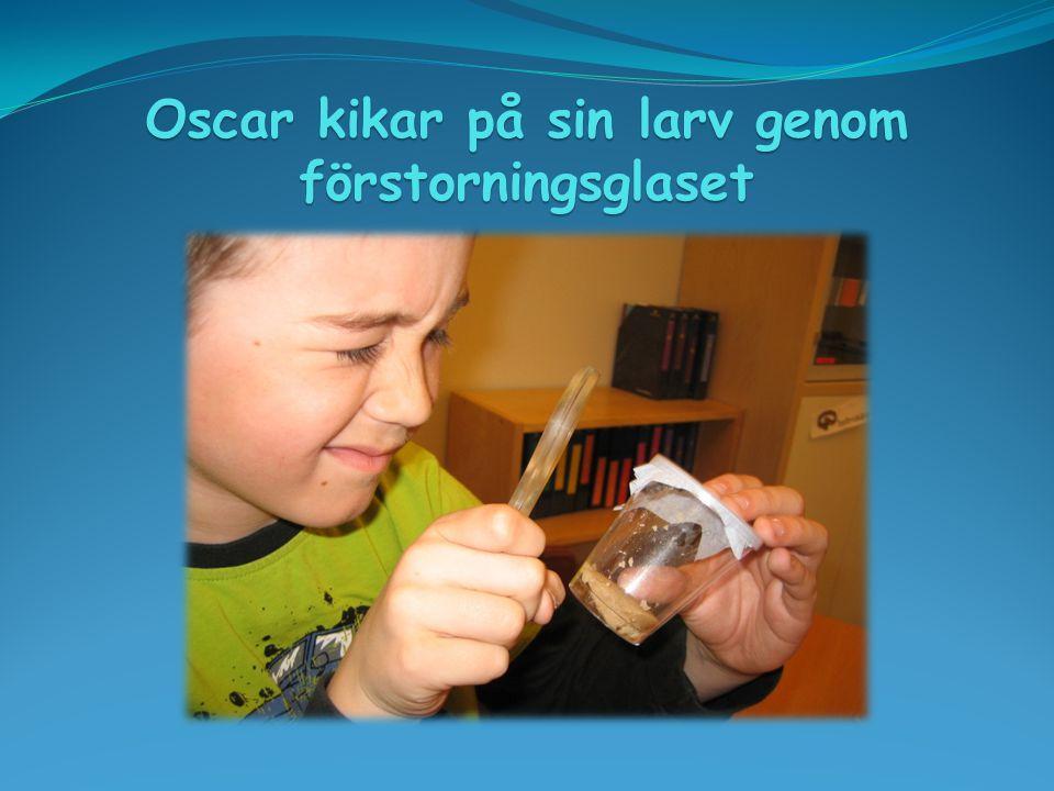 Oscar kikar på sin larv genom förstorningsglaset