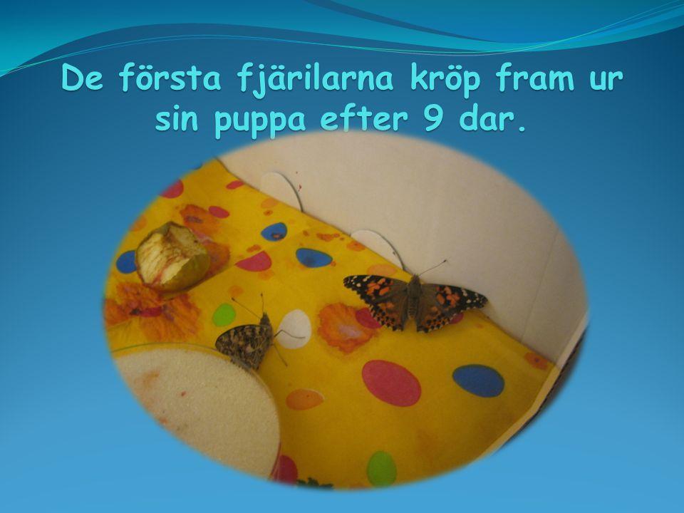 De första fjärilarna kröp fram ur sin puppa efter 9 dar.