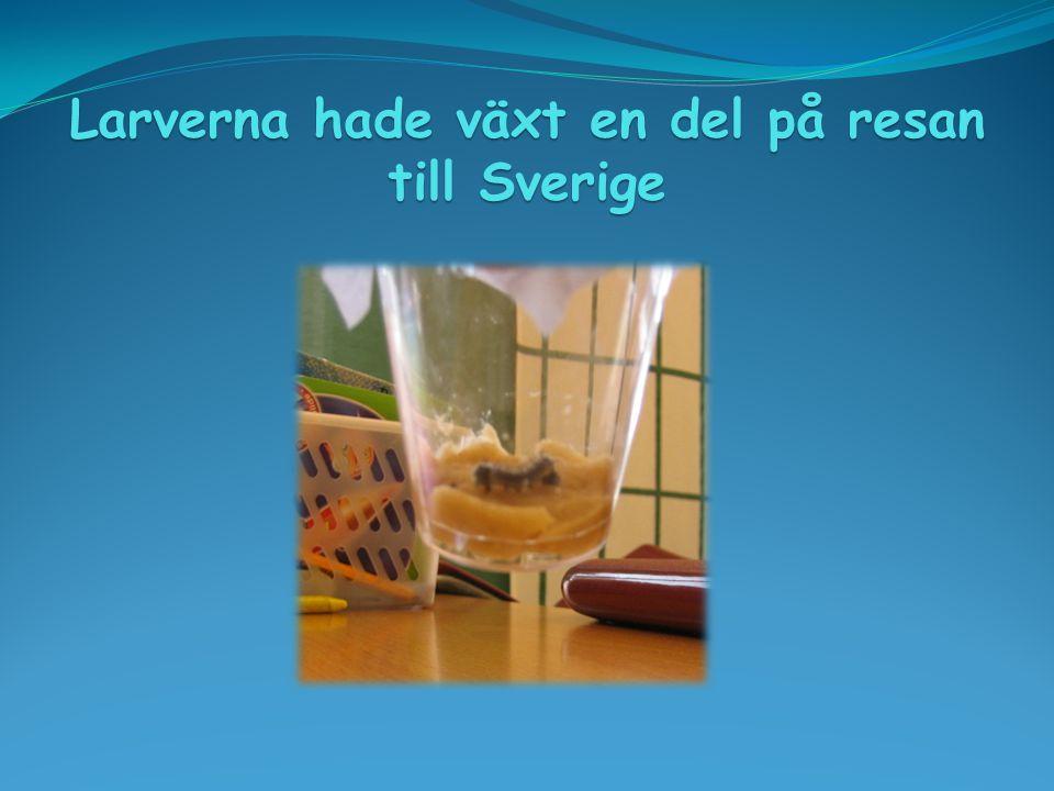 Larverna hade växt en del på resan till Sverige