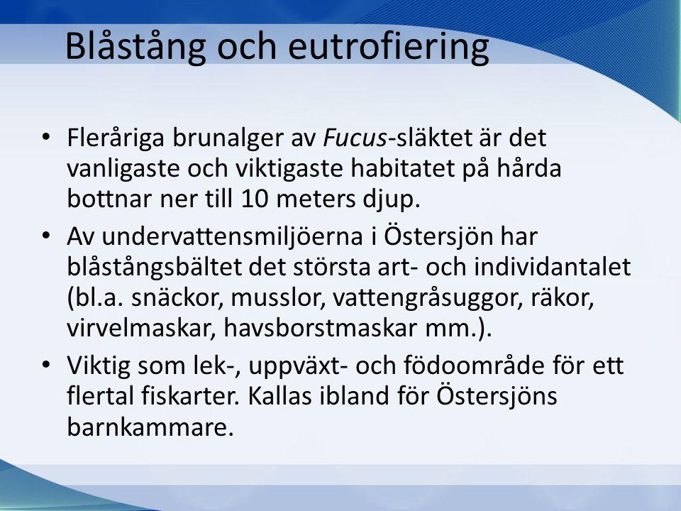 Blåstång och eutrofiering • Fleråriga brunalger av Fucus-släktet är det vanligaste och viktigaste habitatet på hårda bottnar ner till 10 meters djup.