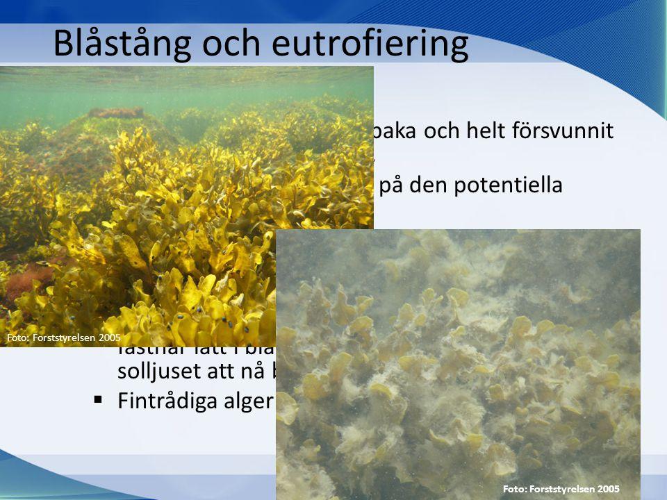 Blåstång och eutrofiering • Blåstången har gått kraftigt tillbaka och helt försvunnit från flera områden i Östersjön. • Grumligare vatten har minskat