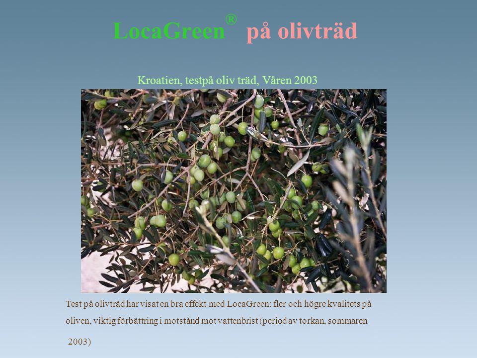 LocaGreen ® på olivträd Kroatien, testpå oliv träd, Våren 2003 Test på olivträd har visat en bra effekt med LocaGreen: fler och högre kvalitets på oli