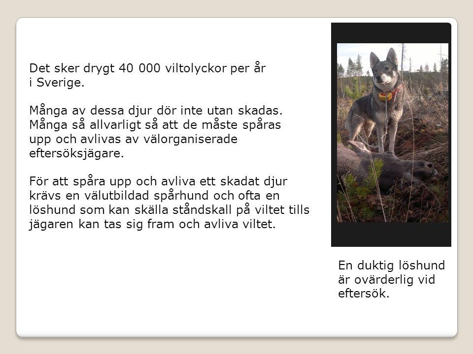 Det sker drygt 40 000 viltolyckor per år i Sverige. Många av dessa djur dör inte utan skadas. Många så allvarligt så att de måste spåras upp och avliv