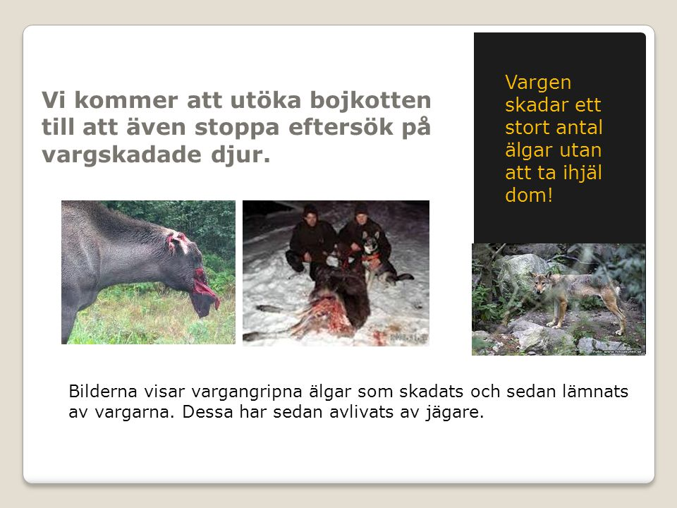 Vi kommer att utöka bojkotten till att även stoppa eftersök på vargskadade djur. Vargen skadar ett stort antal älgar utan att ta ihjäl dom! Bilderna v