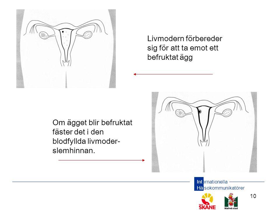 Internationella Hälsokommunikatörer 10 Om ägget blir befruktat fäster det i den blodfyllda livmoder- slemhinnan. Livmodern förbereder sig för att ta e