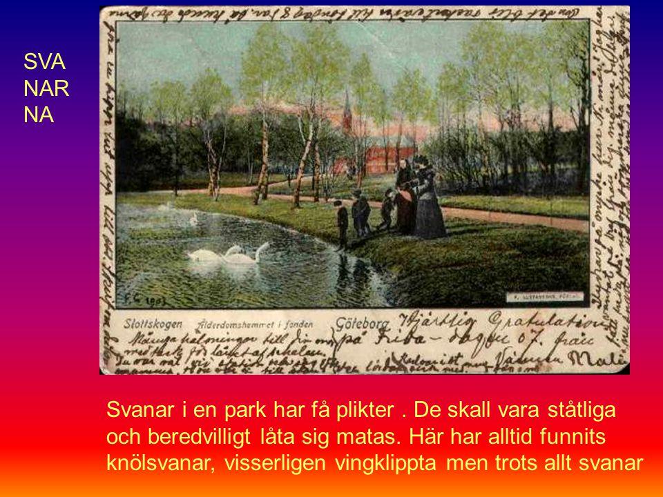 Svanar i en park har få plikter. De skall vara ståtliga och beredvilligt låta sig matas.