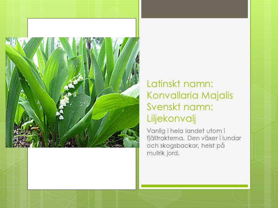 Latinskt namn: Konvallaria Majalis Svenskt namn: Liljekonvalj Vanlig i hela landet utom i fjälltrakterna. Den växer i lundar och skogsbackar, helst på