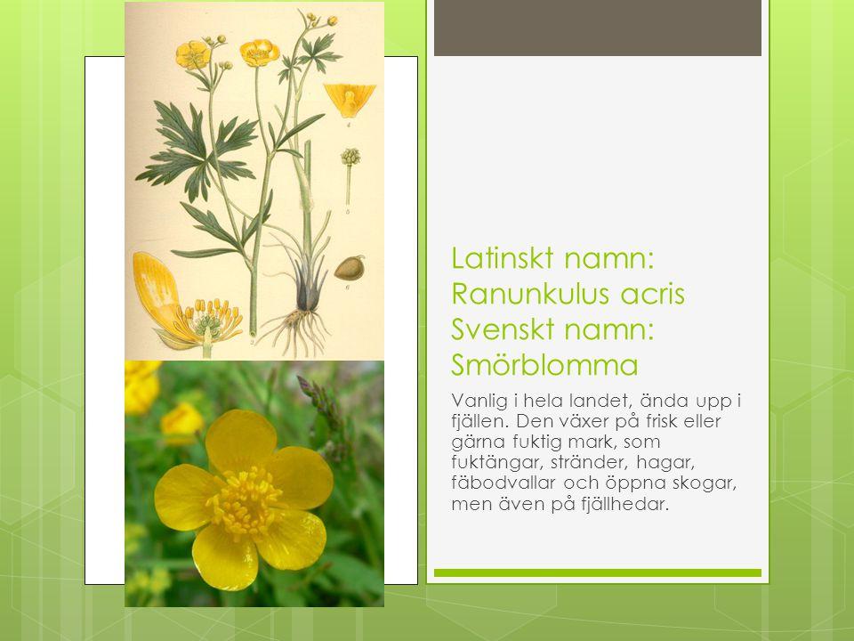 Latinskt namn: Ranunkulus acris Svenskt namn: Smörblomma Vanlig i hela landet, ända upp i fjällen. Den växer på frisk eller gärna fuktig mark, som fuk