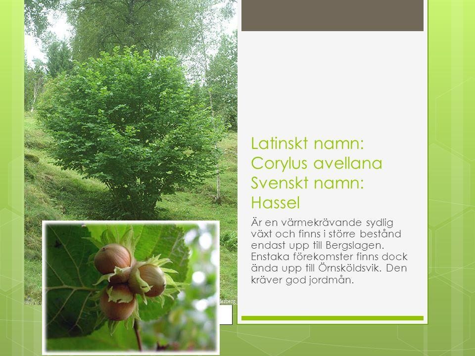 Latinskt namn: Corylus avellana Svenskt namn: Hassel Är en värmekrävande sydlig växt och finns i större bestånd endast upp till Bergslagen. Enstaka fö