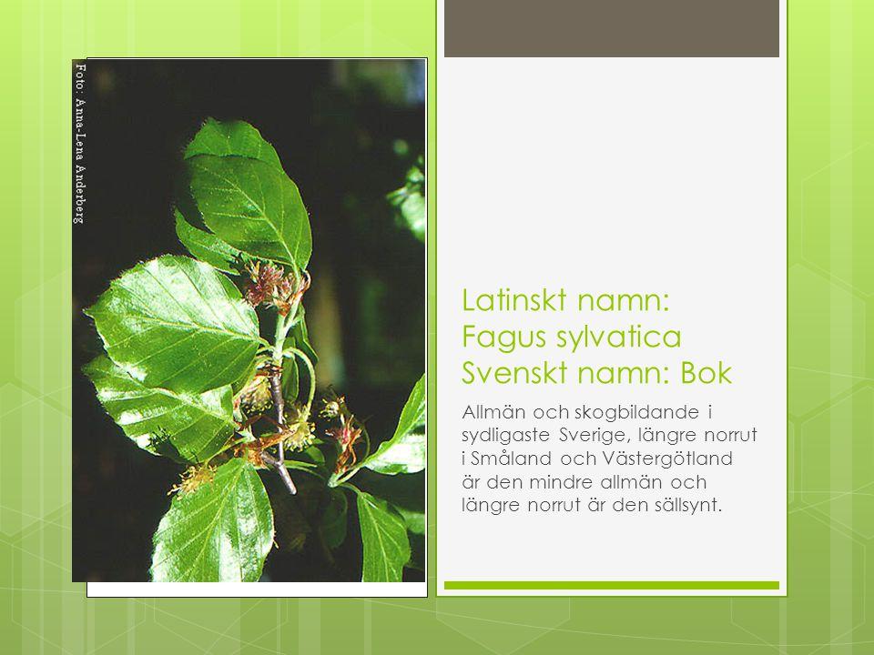 Latinskt namn: Fagus sylvatica Svenskt namn: Bok Allmän och skogbildande i sydligaste Sverige, längre norrut i Småland och Västergötland är den mindre