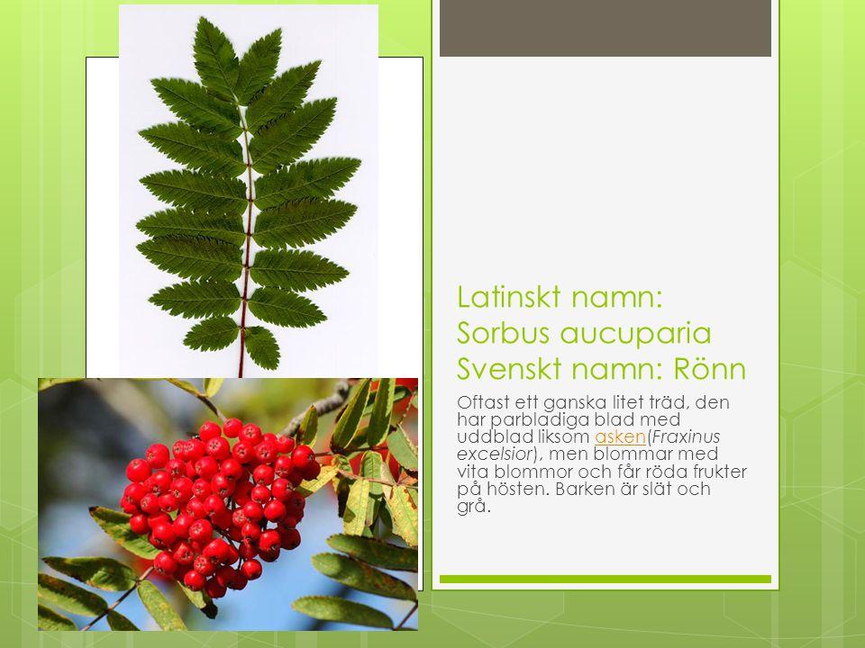 Latinskt namn: Sorbus aucuparia Svenskt namn: Rönn Oftast ett ganska litet träd, den har parbladiga blad med uddblad liksom asken(Fraxinus excelsior),