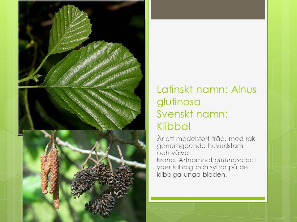 Latinskt namn: Alnus glutinosa Svenskt namn: Klibbal Är ett medelstort träd, med rak genomgående huvudstam och välvd krona. Artnamnet glutinosa bet yd