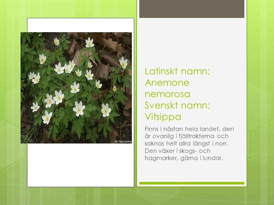 Latinskt namn: Anemone nemorosa Svenskt namn: Vitsippa Finns i nästan hela landet, den är ovanlig i fjälltrakterna och saknas helt allra längst i norr