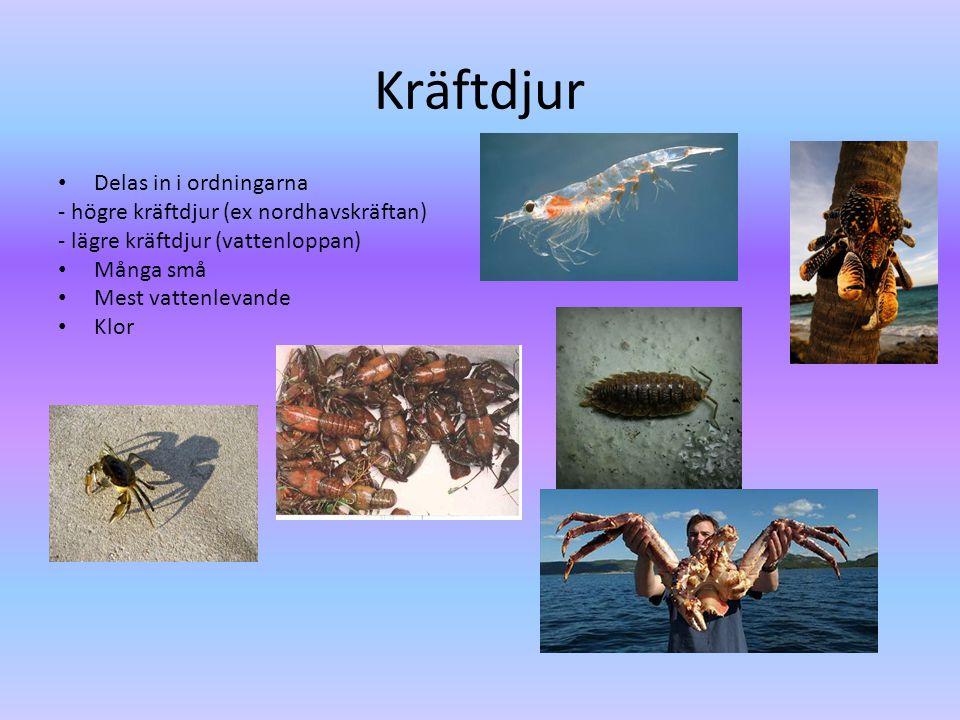 Kräftdjur • Delas in i ordningarna - högre kräftdjur (ex nordhavskräftan) - lägre kräftdjur (vattenloppan) • Många små • Mest vattenlevande • Klor
