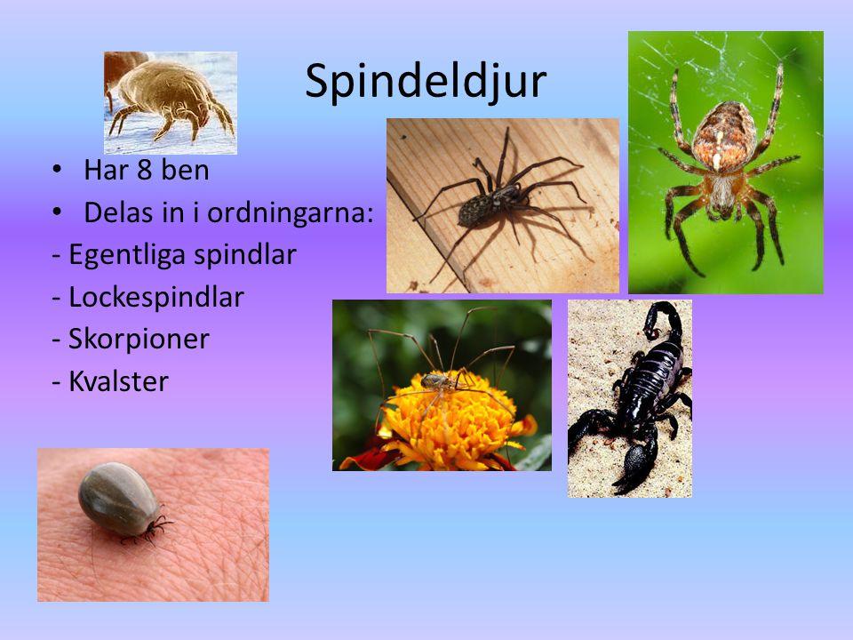 Spindeldjur • Har 8 ben • Delas in i ordningarna: - Egentliga spindlar - Lockespindlar - Skorpioner - Kvalster