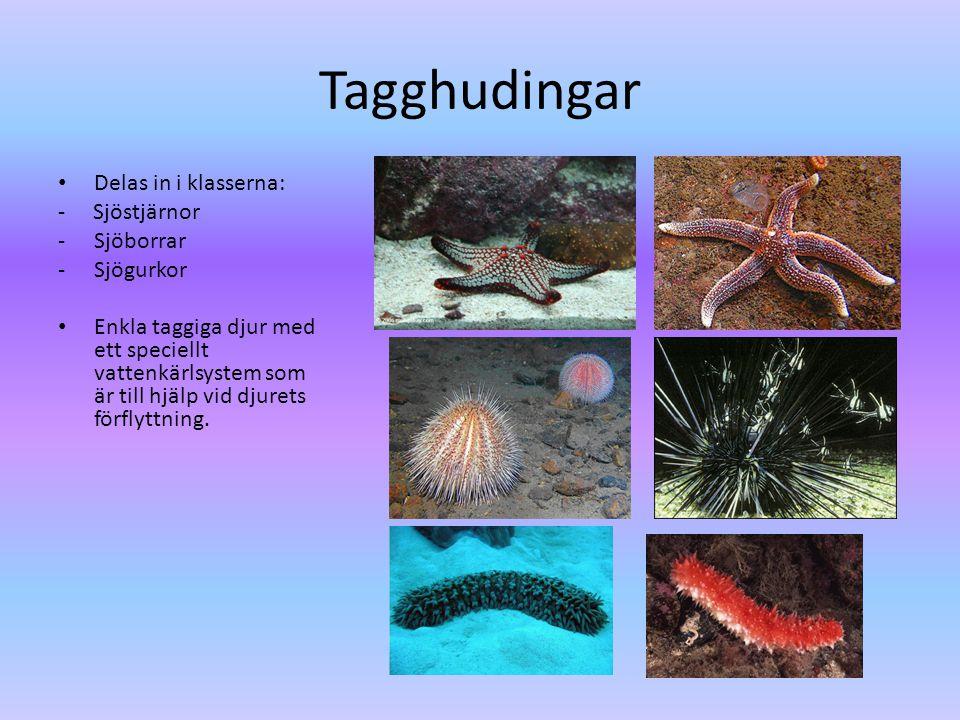 Tagghudingar • Delas in i klasserna: - Sjöstjärnor -Sjöborrar -Sjögurkor • Enkla taggiga djur med ett speciellt vattenkärlsystem som är till hjälp vid djurets förflyttning.