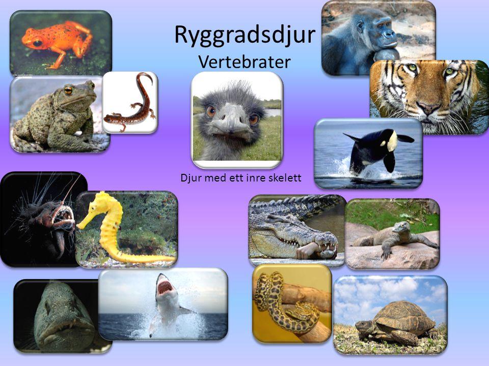 Ryggradsdjur • Delas in i klasserna: -Fiskar -Groddjur -Fåglar -Däggdjur -Kräldjur • Djuren har ett inre skelett av ben eller brosk.