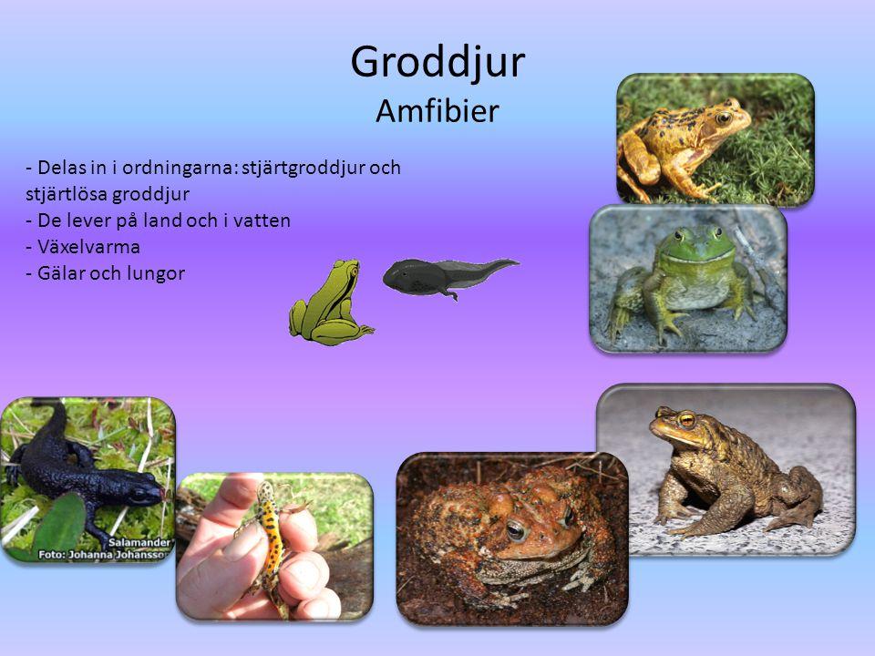 Groddjur Amfibier - Delas in i ordningarna: stjärtgroddjur och stjärtlösa groddjur - De lever på land och i vatten - Växelvarma - Gälar och lungor